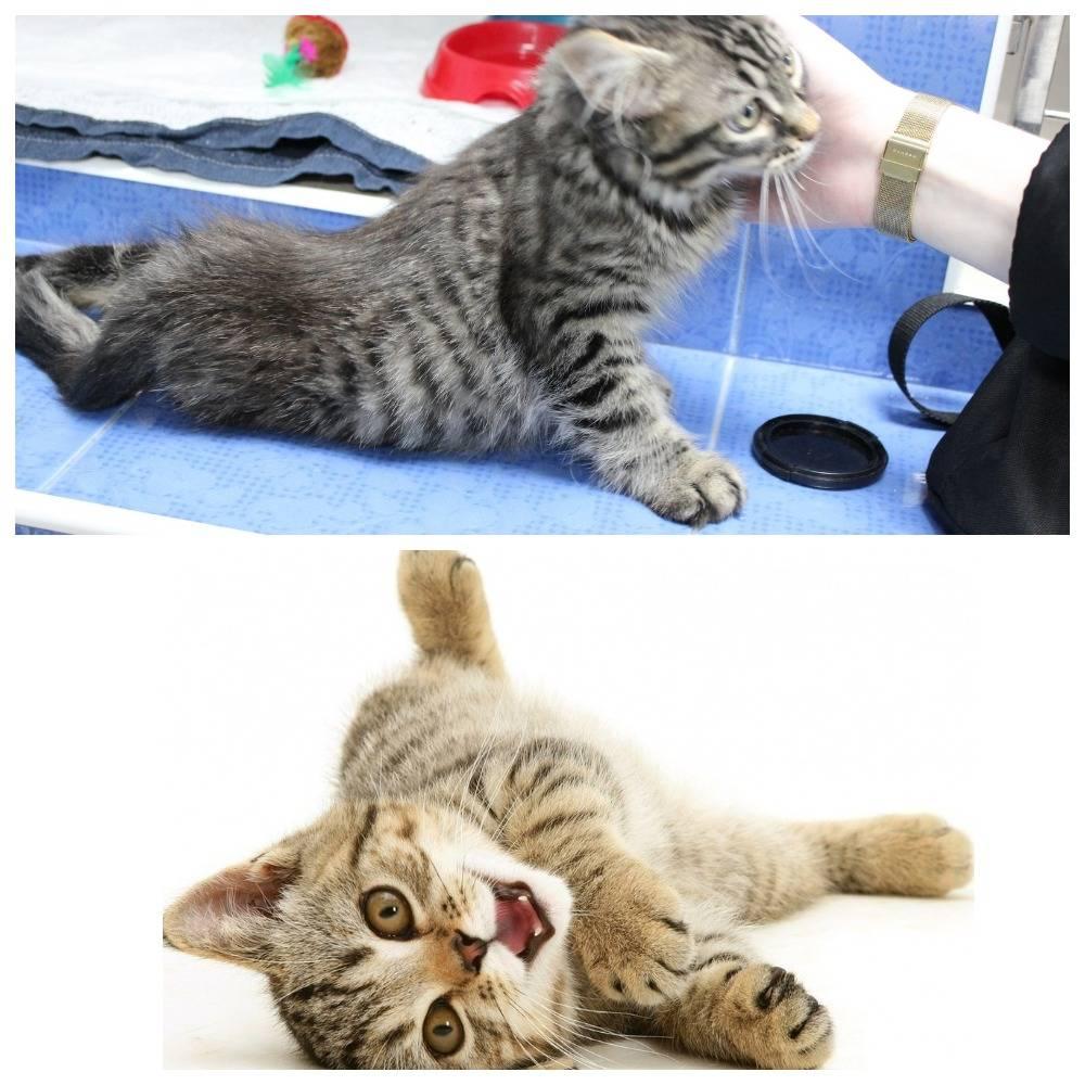 Отнимаются задние лапы у кота: возможные причины, симптомы, диагностика, консультация ветеринара и лечение