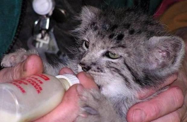 Может ли жить кот манул в домашних условиях?