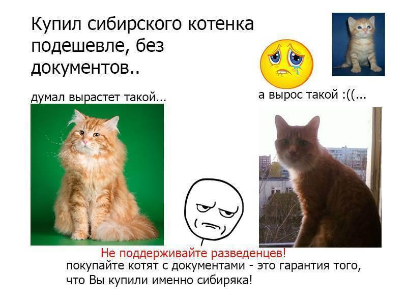 Как продать породистых котят?