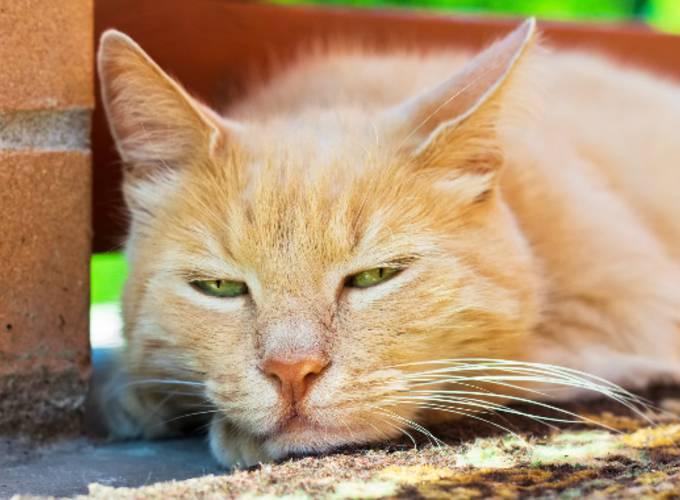 У кота пропал голос, кошка охрипла причины
