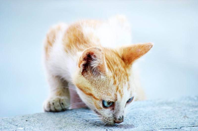 Как избавиться от запаха кошачьей мочи в доме на ковре, обуви, полу, одежде