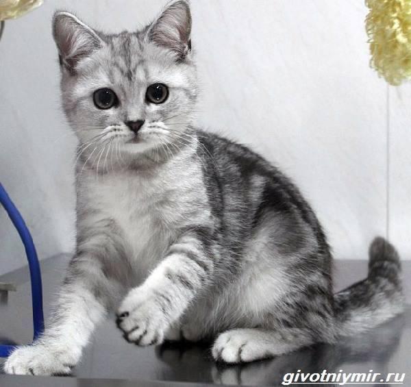 Шотландские прямоухие кошки: описание породы, характер, здоровье