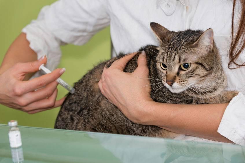 Как сделать укол коту внутримышечно в домашних условиях: схема