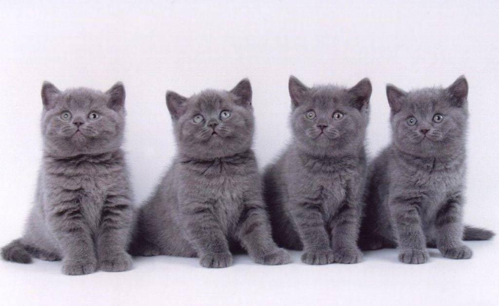 Уход за британскими кошками