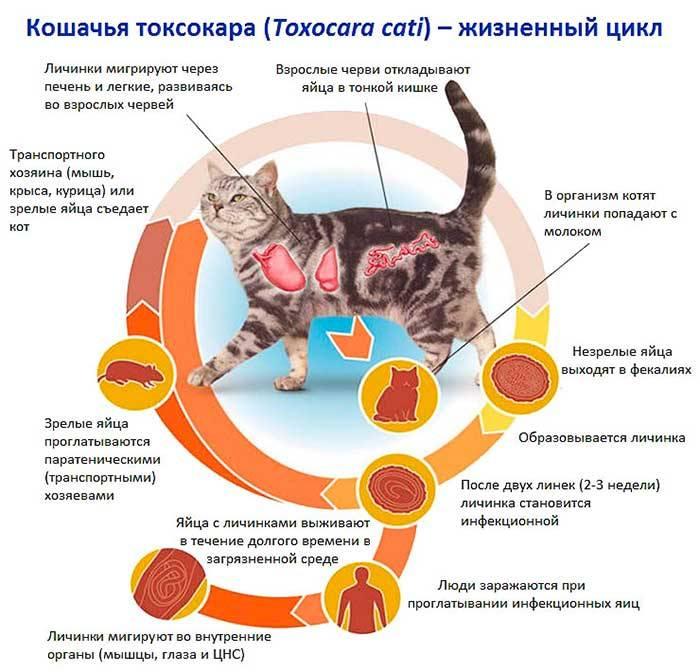 Правила глистогонки котов, беременных кошек и котят самостоятельно дома