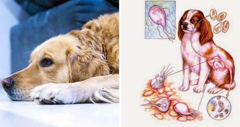 Лечение лямблиоза у кошек - муркин дом