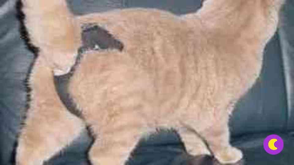 Помочь кошке во время течки — что можно, а что нельзя