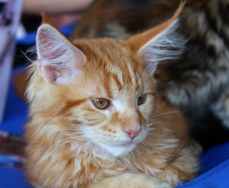 В каком возрасте появляются кисточки на ушах мейн куна | my darling cats