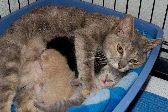 В каком возрасте кошка может забеременеть: во сколько месяцев впервые рожают
