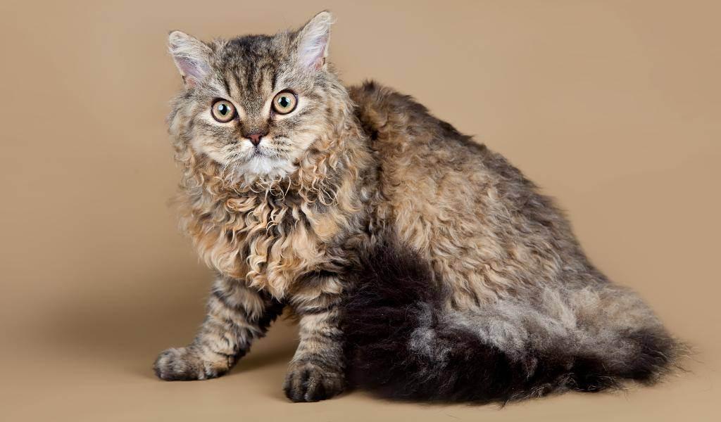 Какие бывают породы кудрявых кошек? - zhivomag