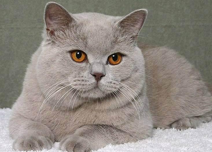 Сколько живут британские кошки в среднем в домашних условиях?