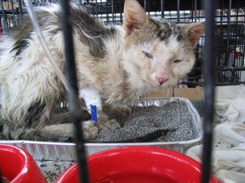 Симптомы, причины и лечение вирусного лейкоза у кошек