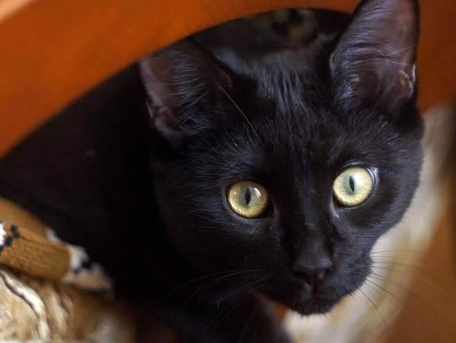 Гепатоз печени у кошек.