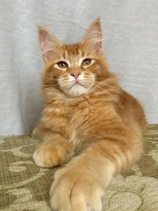Кот полидакт породы мейн-кун — что это значит?