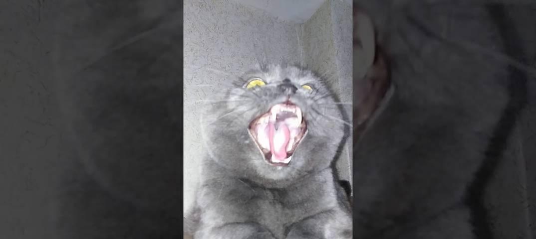 Почему кот шипит?