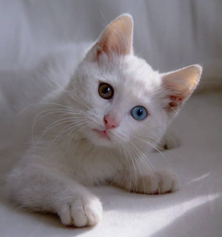 Белый кот с разными глазами: породы, особенности, отзывы, фото и видео