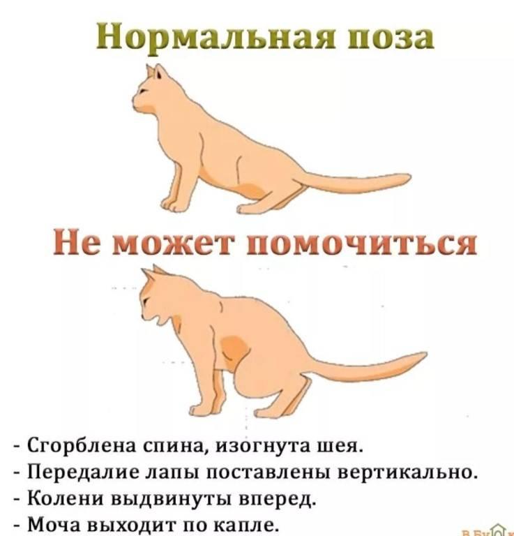 5 причин мочекаменной болезни у котов - симптомы и лечение