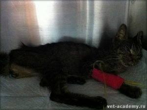 Почечная недостаточность у кошек: лечение, симптомы, прогноз