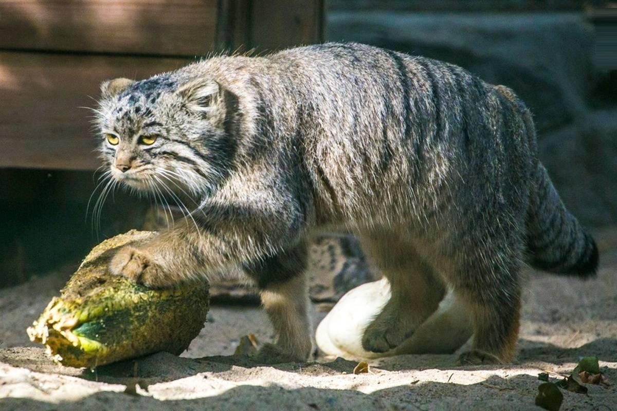 Редкая южноамериканская кошка онцилла