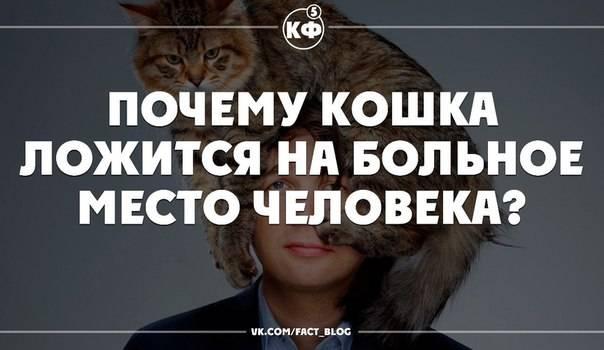 Почему кошка ложится на человека: догадки, приметы, секреты
