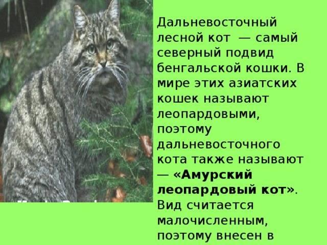 Амурский лесной кот (дальневосточный, леопардовый): описание, образ жизни
