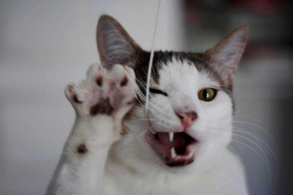 Почему у кошки пахнет изо рта и как с этим бороться