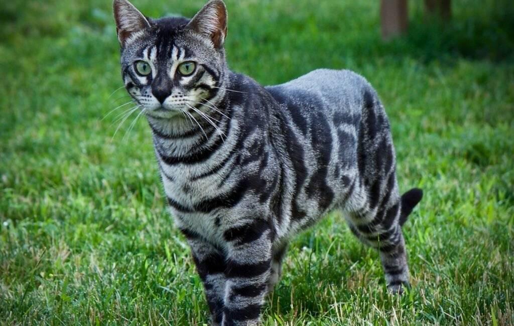 Все тайны полосатых котов – обзор породы кошек