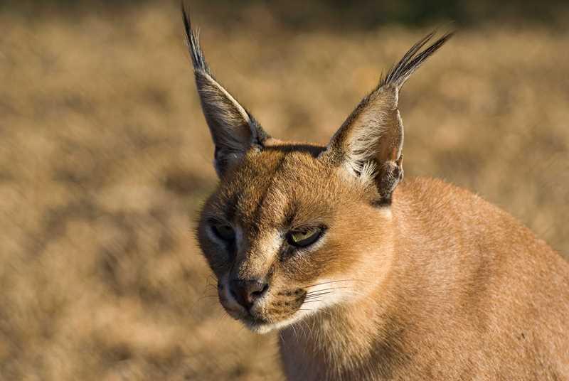 Кошка каракал: описание, характер, уход, цена, фото  - mimer.ru