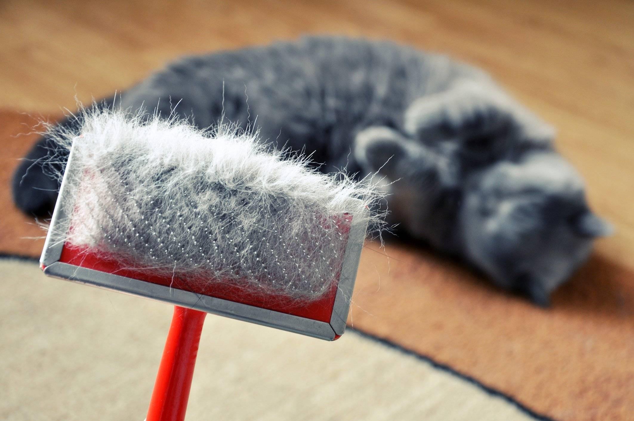 У кошки появилась перхоть: косметическая проблема или симптом тяжёлого заболевания?