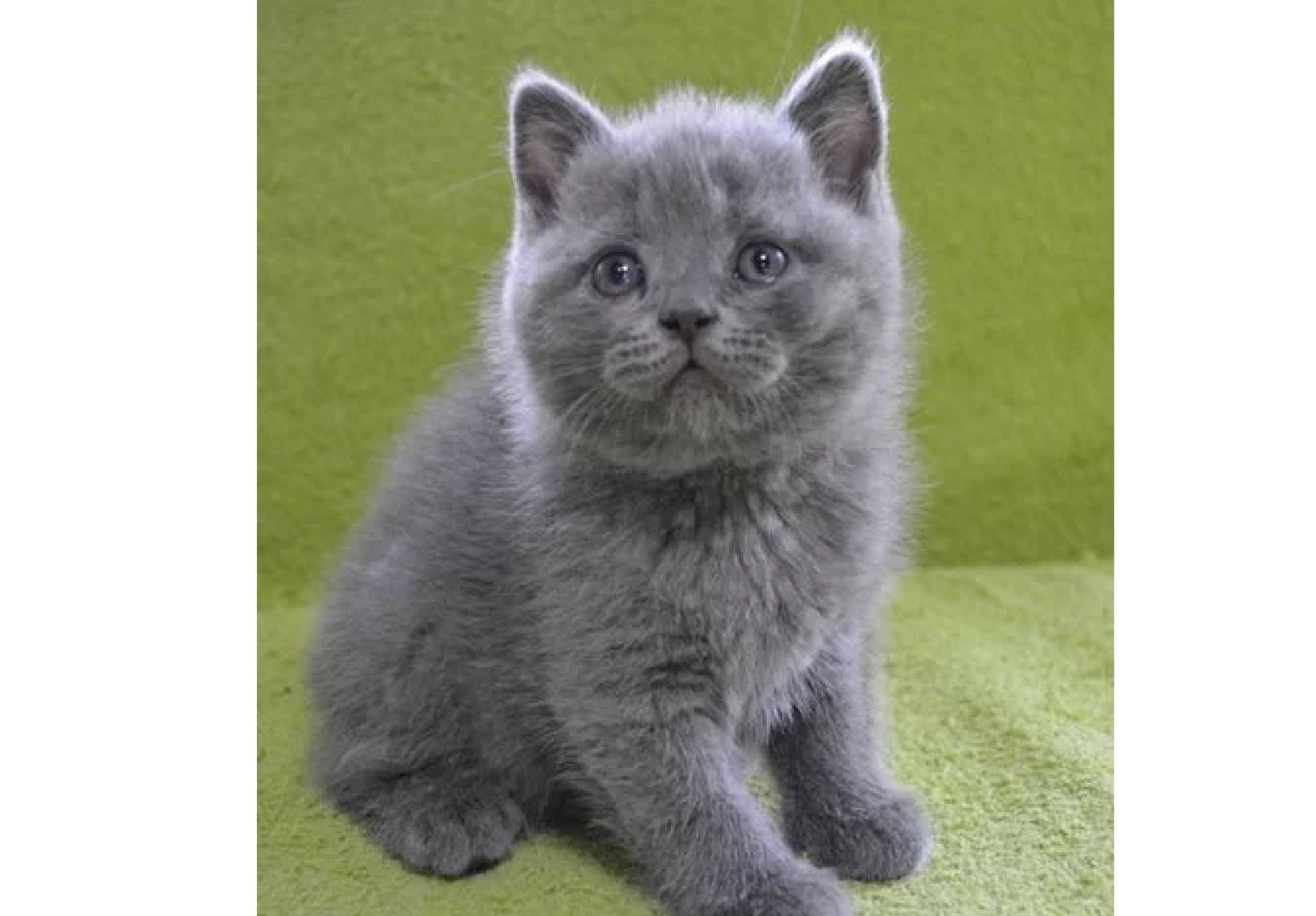 Как правильно выбрать британского котенка и не ошибиться при покупке