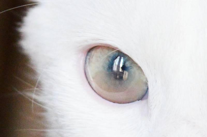 Когда меняют цвет глаз котят? - котята 2021