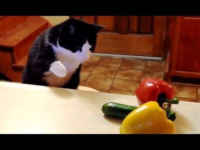 Почему коты боятся огурцов: топ-7 причин почему коты боятся огурцов: топ-7 причин