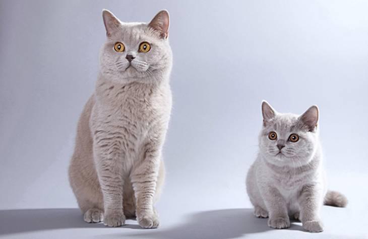 Клички для британских кошек и котов | как назвать