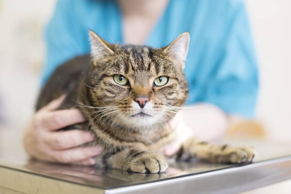 Гемобартонеллез кошек: симптомы и лечение, заразен ли для человека, лечение юнидокс