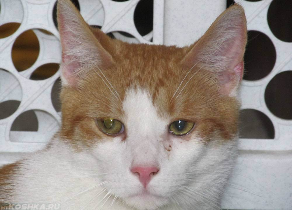 Что делать если у кошки слезятся глаза - причины и лечение