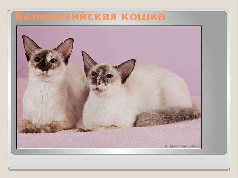 Кошка бурмилла: порода с шиншилловой шерстью