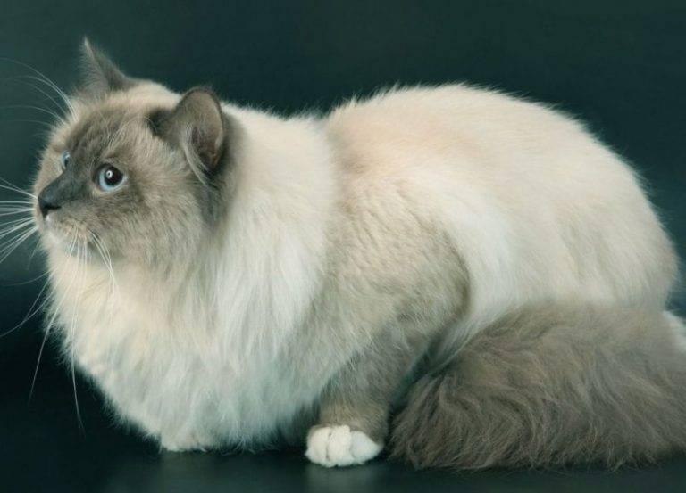 Сиамский кот: описание, цена, уход