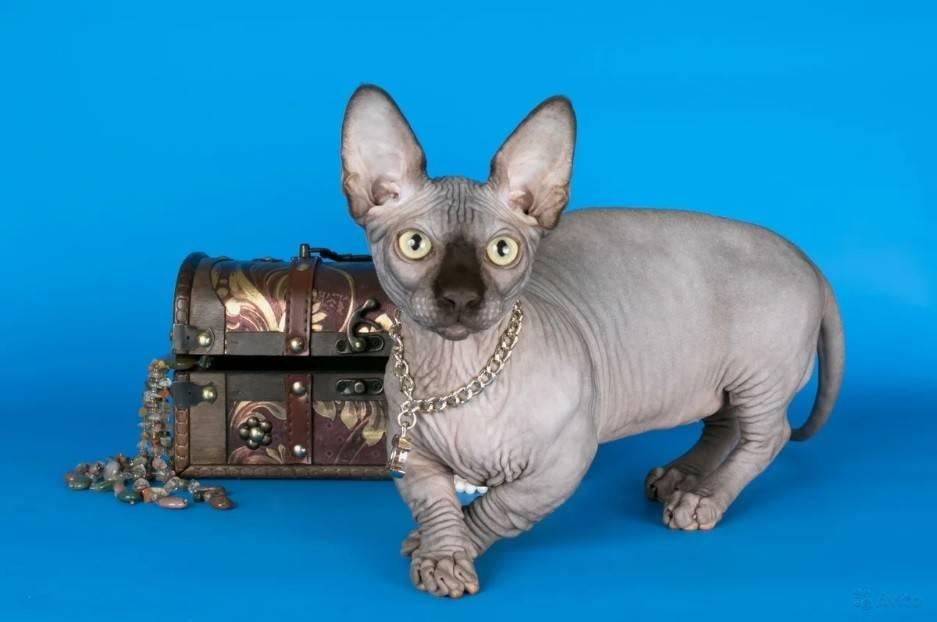 Бамбино — описание породы и характер кошки | zdavnews.ru