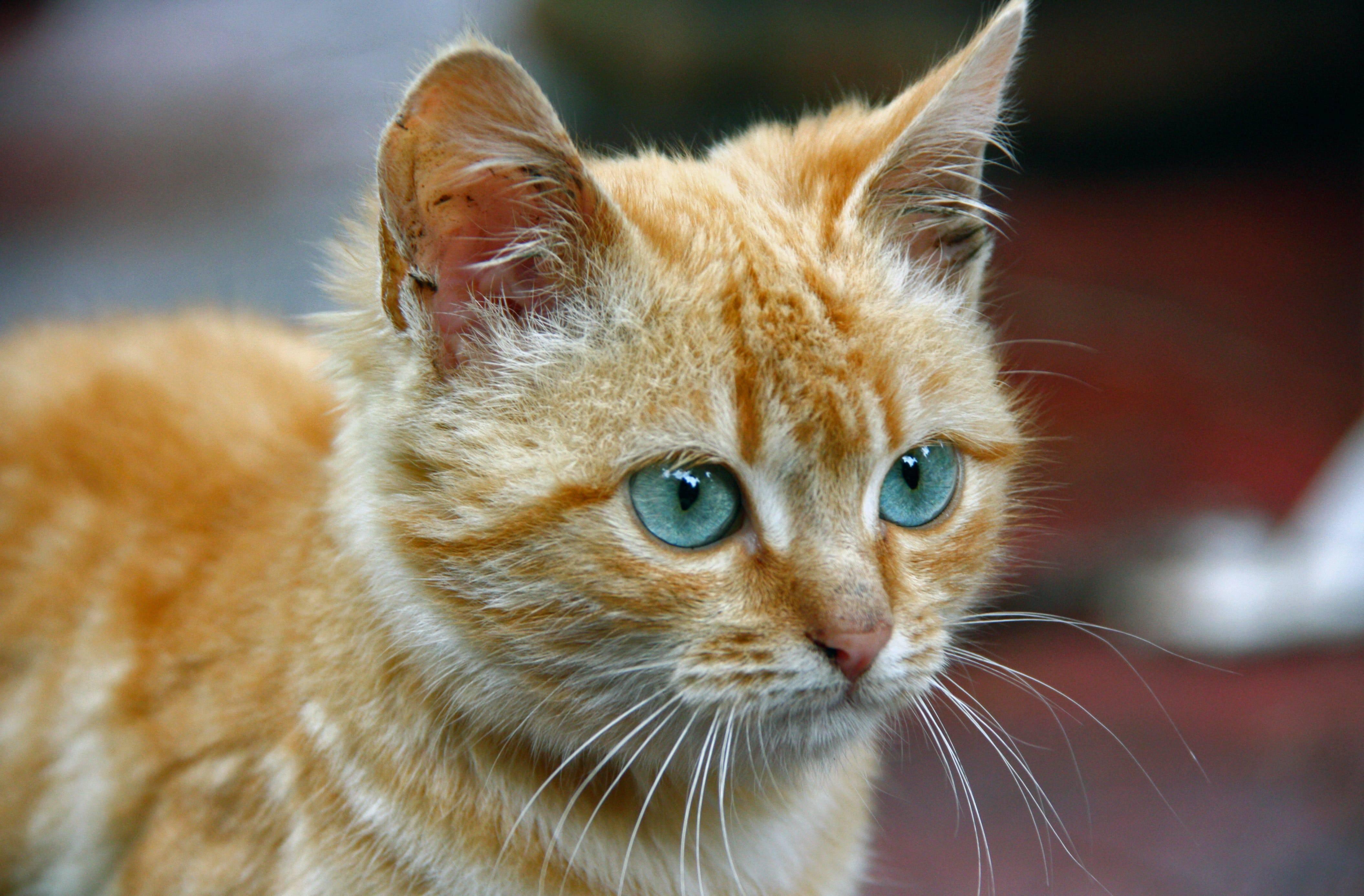 Породы рыжих кошек с фотографиями и названиями   сайт «мурло»