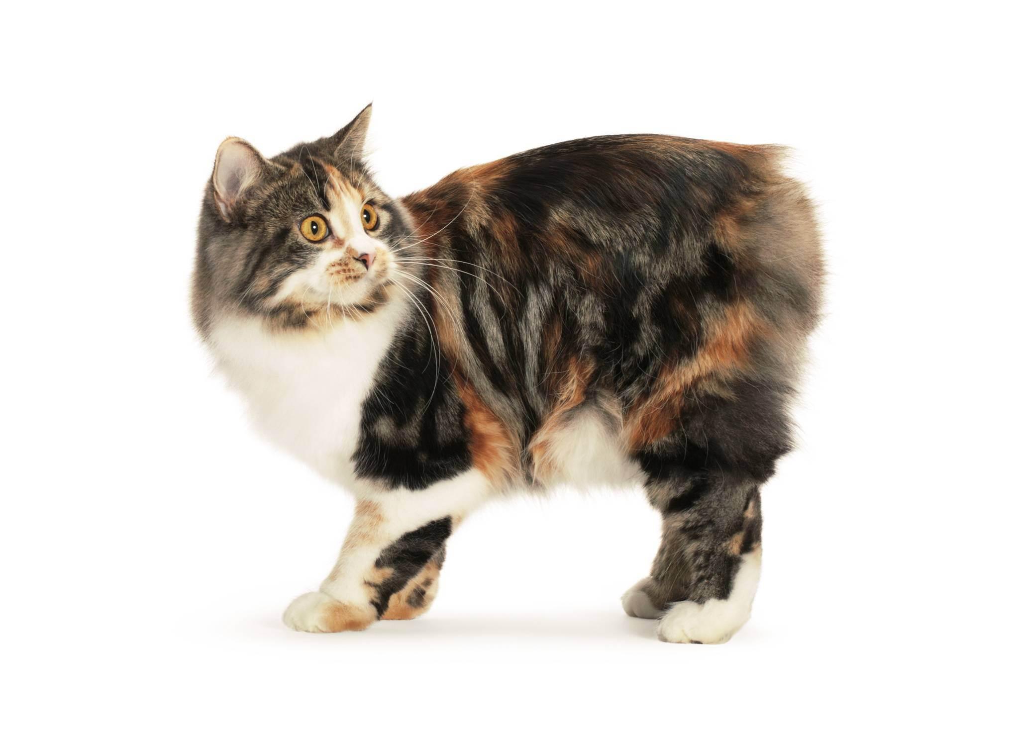 Кот хромает на переднюю лапу: что делать, как лечить?