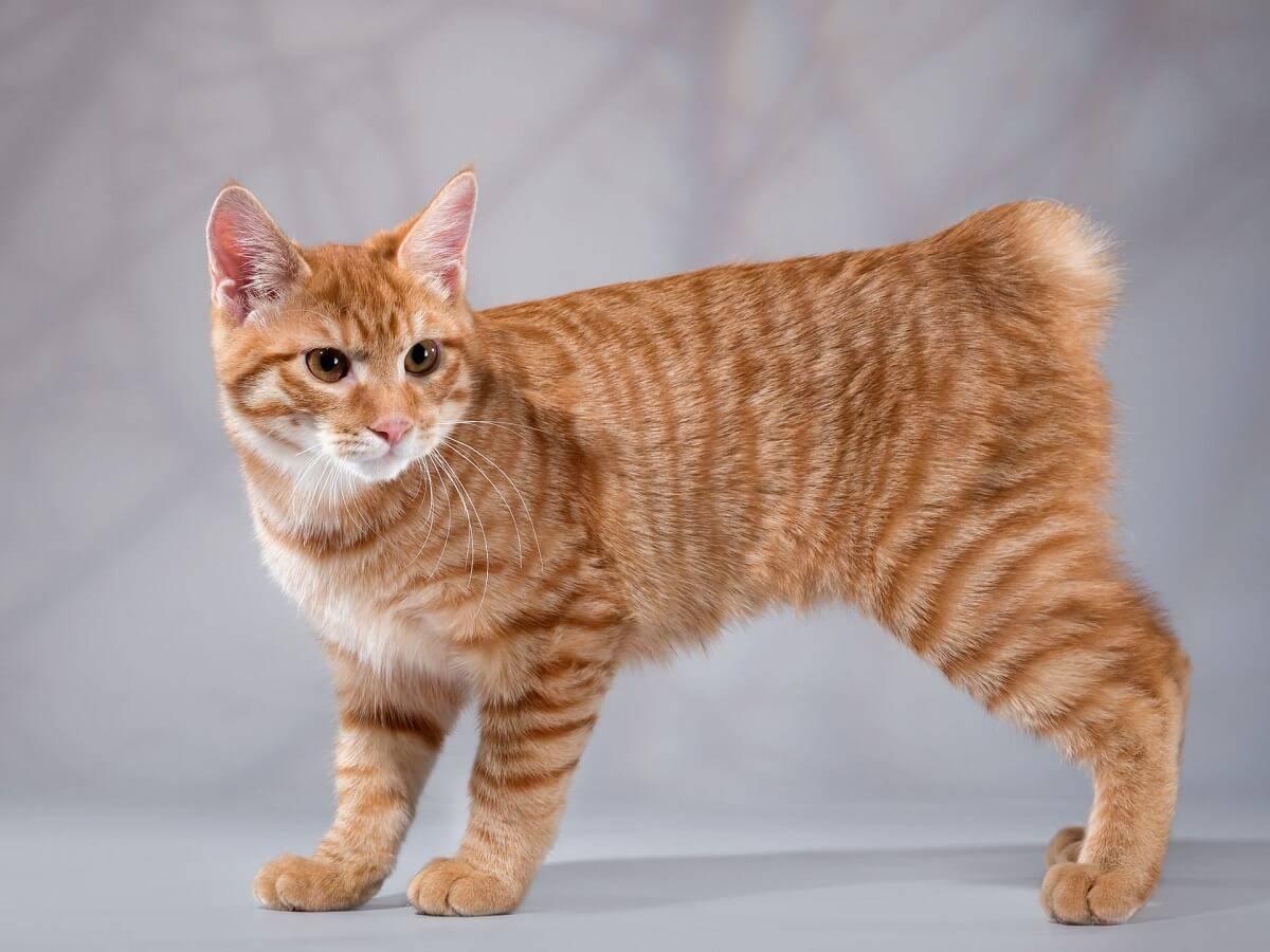 Породы кошек с коротким хвостом - название, описание и фото - kotiko.ru