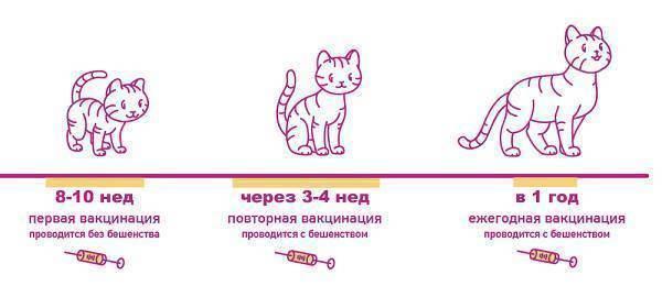 Как распознать бешенство у кошки: признаки по формам заболевания