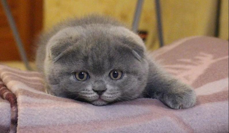 Как приручить шотландского котенка к лотку