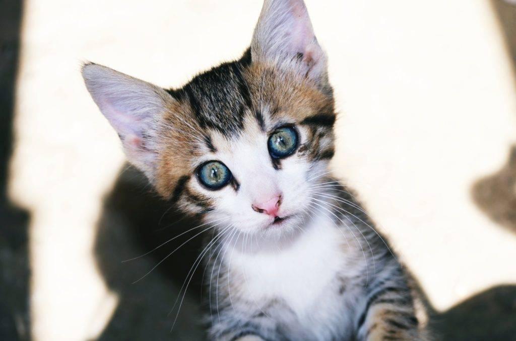 Когда, в каком возрасте у котят цвет глаз меняется с голубого на другой, почему это происходит?