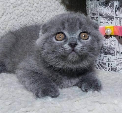 Шотландские кошки