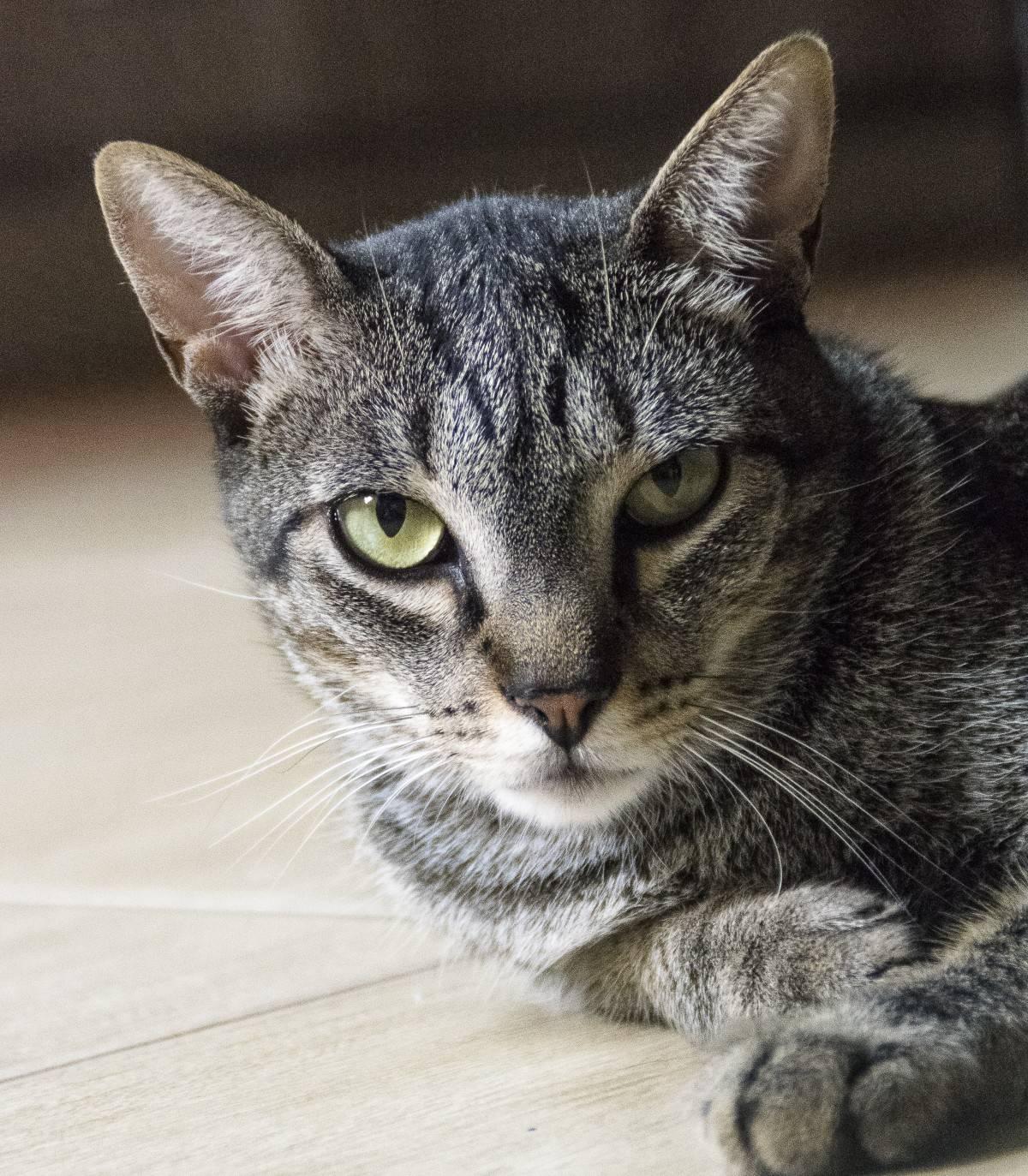 Дымчатый окрас кошек: подробное описание, у каких пород встречается, фото серых котов