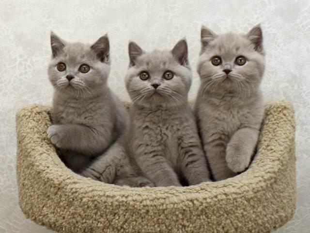 Когда можно начинать купать котенка британца. правильное купание британских кошек. этапы успешной гигиены