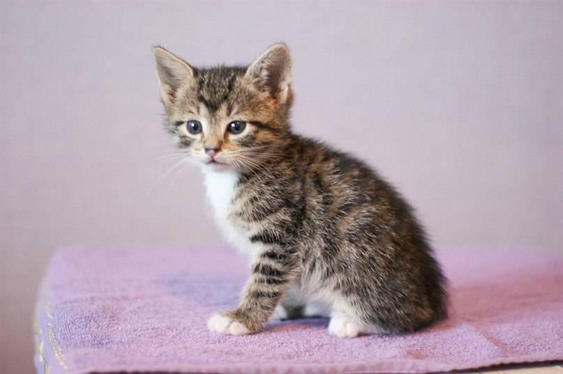Полосатый окрас у котов: породы с описанием, стандарты и особенности, фото