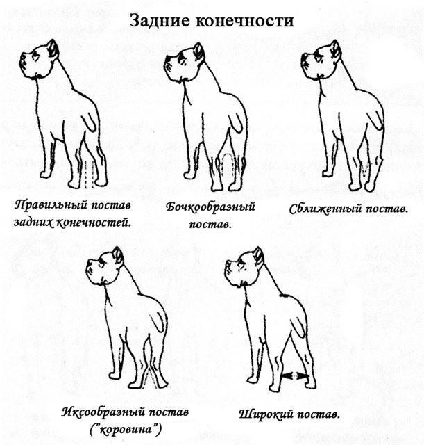 Окрасы и виды «кане-корсо»: обзор популярных собак и как выбрать щенка