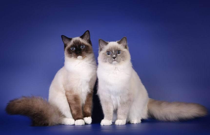 Бирманская кошка – священное сокровище в доме